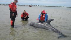 600 Lb. Dolphin Rescued Last Week Still in 'Guarded' Condition